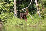 Bornean orangutan [kalteng_0868]