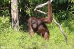 Bornean orangutan [kalteng_0870]