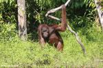 Bornean orangutan [kalteng_0871]