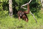 Bornean orangutan [kalteng_0872]