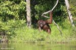 Bornean orangutan [kalteng_0873]