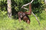 Bornean orangutan [kalteng_0874]