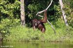 Bornean orangutan [kalteng_0876]