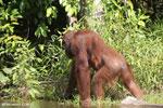 Bornean orangutan [kalteng_0877]