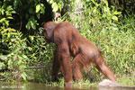 Bornean orangutan [kalteng_0878]
