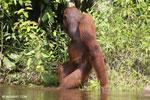 Bornean orangutan [kalteng_0879]
