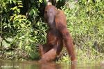 Bornean orangutan [kalteng_0880]
