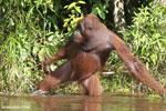 Bornean orangutan [kalteng_0881]