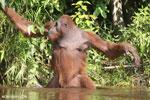 Bornean orangutan [kalteng_0883]