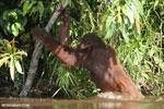 Bornean orangutan [kalteng_0884]