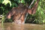 Bornean orangutan [kalteng_0887]