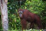 Bornean orangutan [kalteng_0890]