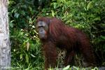 Bornean orangutan [kalteng_0891]