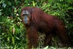 Bornean orangutan [kalteng_0892]