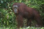 Bornean orangutan [kalteng_0893]