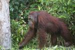 Bornean orangutan [kalteng_0896]