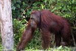 Bornean orangutan [kalteng_0897]