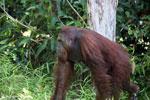 Bornean orangutan [kalteng_0898]