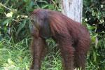 Bornean orangutan [kalteng_0899]