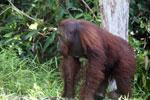 Bornean orangutan [kalteng_0900]