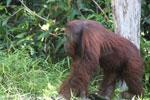 Bornean orangutan [kalteng_0901]