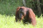 Bornean orangutan [kalteng_0902]