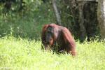 Bornean orangutan [kalteng_0903]