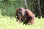 Bornean orangutan [kalteng_0904]
