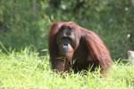 Bornean orangutan [kalteng_0905]