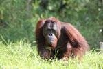 Bornean orangutan [kalteng_0906]