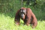 Bornean orangutan [kalteng_0908]