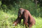 Bornean orangutan [kalteng_0912]