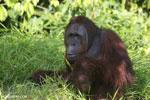 Bornean orangutan [kalteng_0914]