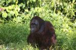 Bornean orangutan [kalteng_0915]