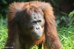 Bornean orangutan [kalteng_0916]