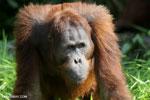 Bornean orangutan [kalteng_0917]