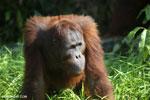 Bornean orangutan [kalteng_0918]