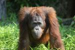 Bornean orangutan [kalteng_0921]
