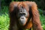 Bornean orangutan [kalteng_0923]