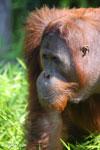 Bornean orangutan [kalteng_0925]