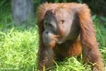 Bornean orangutan [kalteng_0926]