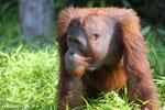 Bornean orangutan [kalteng_0927]