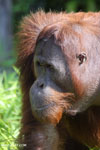 Bornean orangutan [kalteng_0928]