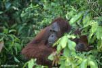 Bornean orangutan [kalteng_0929]