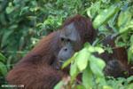 Bornean orangutan [kalteng_0930]