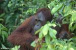 Bornean orangutan [kalteng_0931]