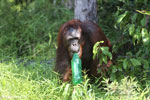 Bornean orangutan that has found a plastic bottle and filled it with river water to drink [kalteng_0932]