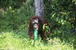 Bornean orangutan that has found a plastic bottle and filled it with river water to drink [kalteng_0934]