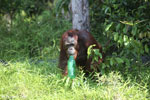 Bornean orangutan that has found a plastic bottle and filled it with river water to drink [kalteng_0935]