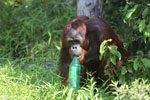 Bornean orangutan that has found a plastic bottle and filled it with river water to drink [kalteng_0936]